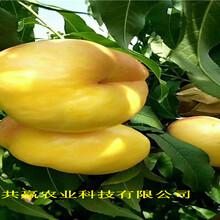 重慶楊家新品種桃樹苗這里賣的價格圖片