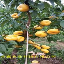 6月成熟桃苗近期批發價格、6月成熟桃苗基地圖片