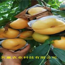 新疆庫爾勒晚熟冬桃樹苗多錢一棵圖片