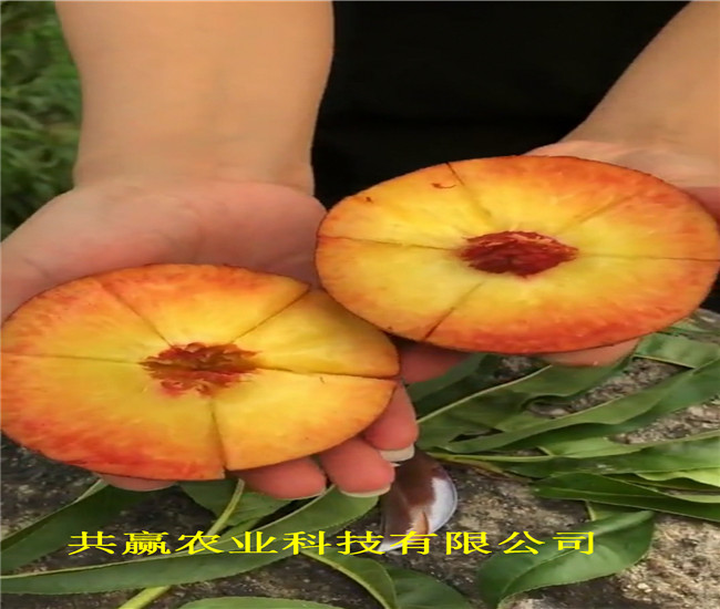 安徽安慶9月成熟桃苗近期批發價格