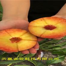 晚熟冬桃樹苗采購批發價、晚熟冬桃樹苗基地圖片