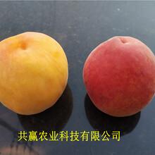 新疆昌吉6月成熟桃苗近期批發價格圖片