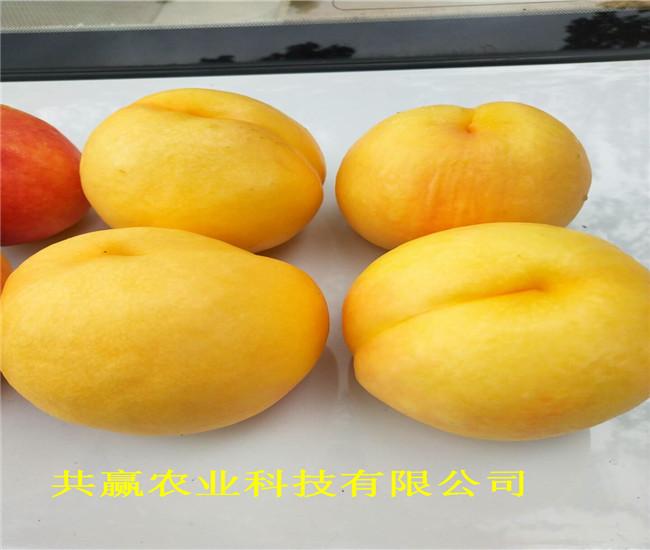 安徽和5月成熟桃苗采購批發價