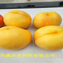 湖北武漢冬雪桃樹樹苗育苗基地賣價圖片