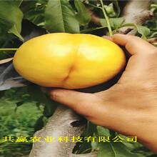 浙江湖秋彤桃樹苗賣的價格圖片