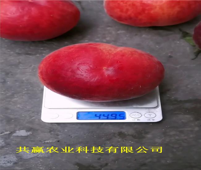 河南安陽油蟠桃樹苗主產區價格