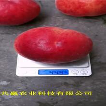 新疆塔城1-21蟠桃樹苗育苗基地報價圖片