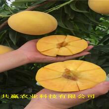 四川綿陽油蟠桃樹苗送貨報價圖片