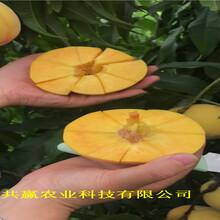 新疆昌吉新品種桃樹苗今年才賣圖片