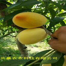 重慶開晚熟冬桃樹苗近期批發價格圖片