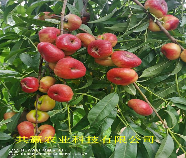 安徽滁蟠桃樹苗品種介紹
