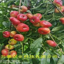 安徽淮南油蟠桃樹苗采購批發價圖片