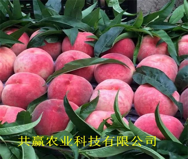 山西忻黃桃樹苗品種介紹