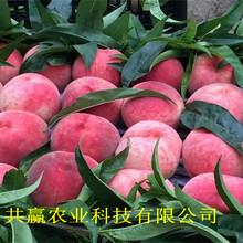 重慶高新區9月成熟桃苗基地批發報價圖片