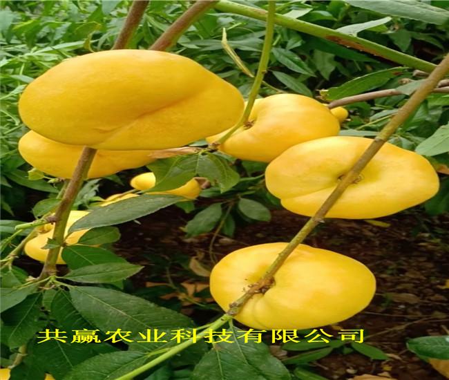 安徽池油蟠桃樹苗出售價錢