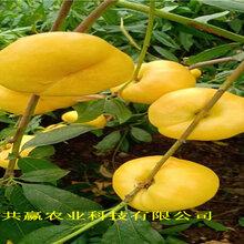新疆克拉瑪依冬雪桃樹樹苗這里賣的好