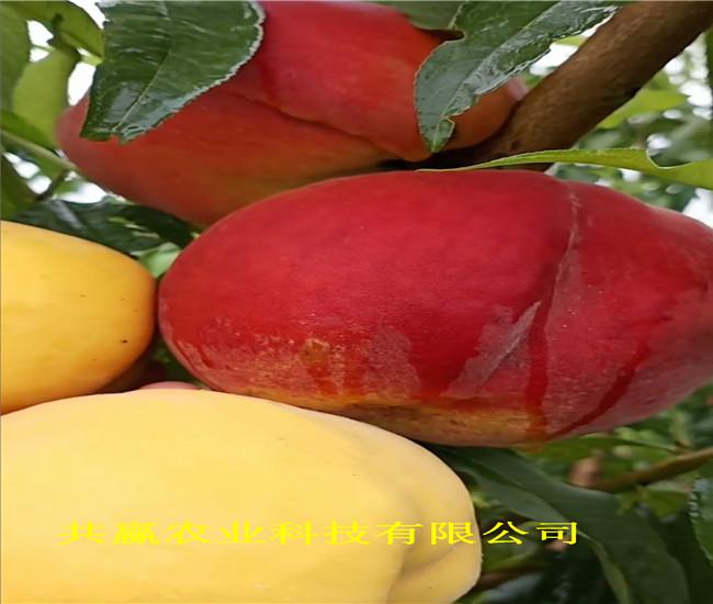 安徽安慶冬雪桃樹樹苗批發價格