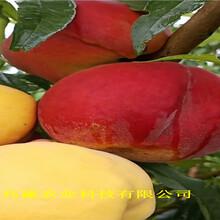河南鄢陵油蟠桃樹苗近期批發價格圖片