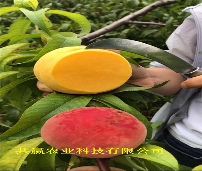 山東棗莊蟠桃樹苗賣的價格