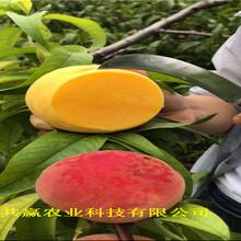 云南普洱金秋紅蜜桃樹苗近期價格圖片