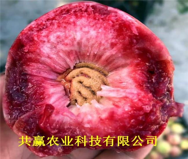 云南大理金秋紅蜜桃樹苗這里賣的好