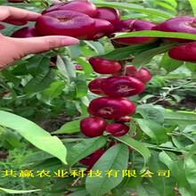 浙江臺晚熟冬桃樹苗采購批發價圖片
