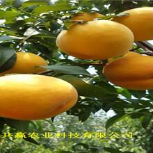湖北鄂早熟桃樹苗出售價錢圖片