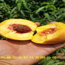 甘肅蘭6月成熟桃苗批發價格圖片
