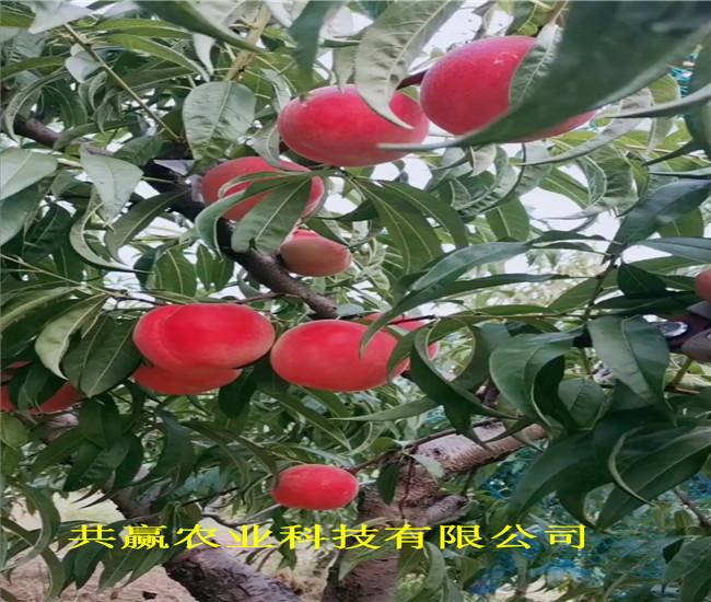 山東萊蕪36-5蟠桃樹苗主產區價格