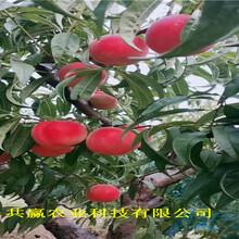 山西晉城冬雪桃樹樹苗今年才賣圖片