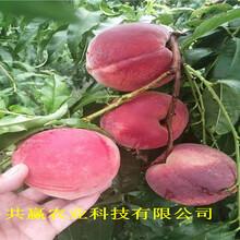 重慶渝中8月成熟桃苗基地批發報價圖片