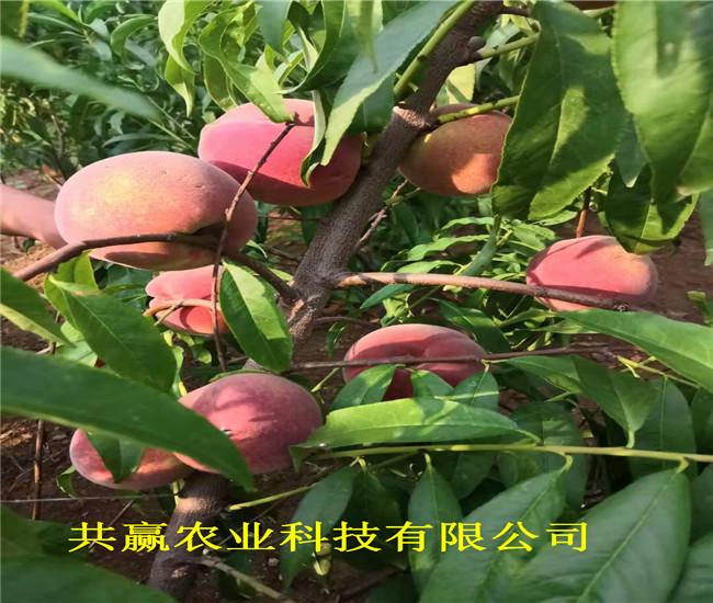 河南鄭1-21蟠桃樹苗這里賣的價格