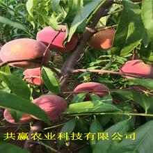 山西晉中晚熟蟠桃樹苗出售價錢圖片