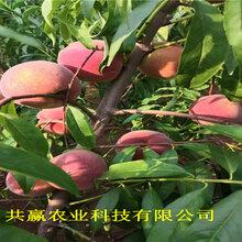 新疆克拉瑪依6-05油桃苗這里賣的好