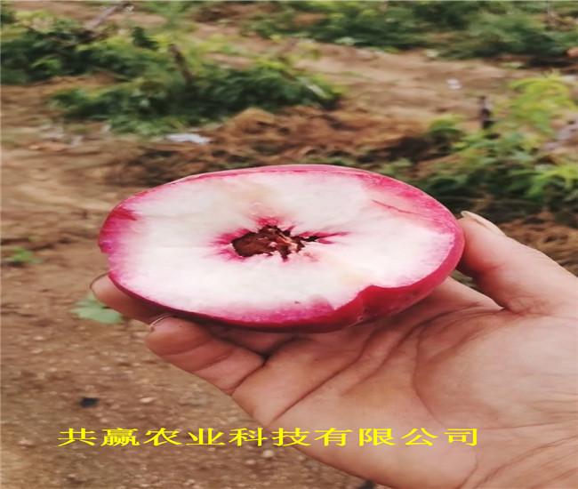四川樂山雪桃樹苗賣的價格