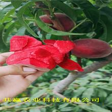 河北廊坊金秋紅蜜桃樹苗這里賣的價格圖片