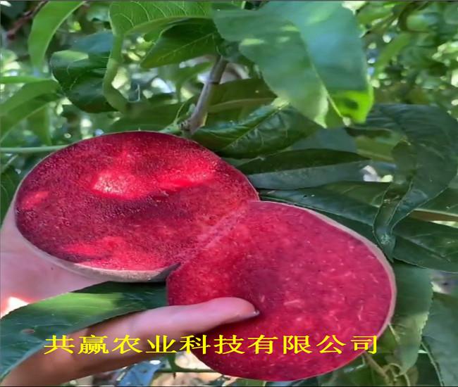 陜西渭南5月成熟桃苗主產區售價