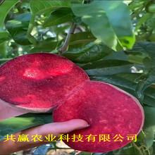 廣西貴港10月成熟桃苗這里賣的好圖片