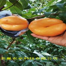 新疆哈密1-21蟠桃樹苗主產區報價圖片