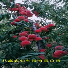 甘肅甘南冬雪桃樹樹苗近期價格圖片