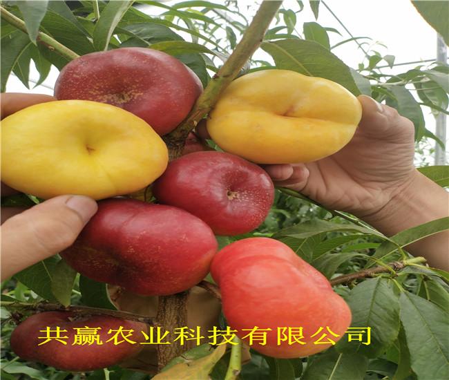 山西長治10月成熟桃苗品種介紹