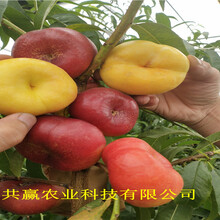 安徽霍邱冬雪桃樹樹苗批發價格圖片