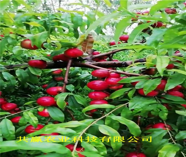 江蘇宿遷金秋紅蜜桃樹苗這里賣的好