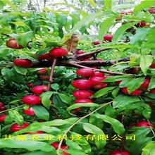 湖南婁底晚熟蟠桃樹苗近期價格圖片