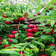 江蘇鎮江36-5蟠桃樹苗這里賣的好