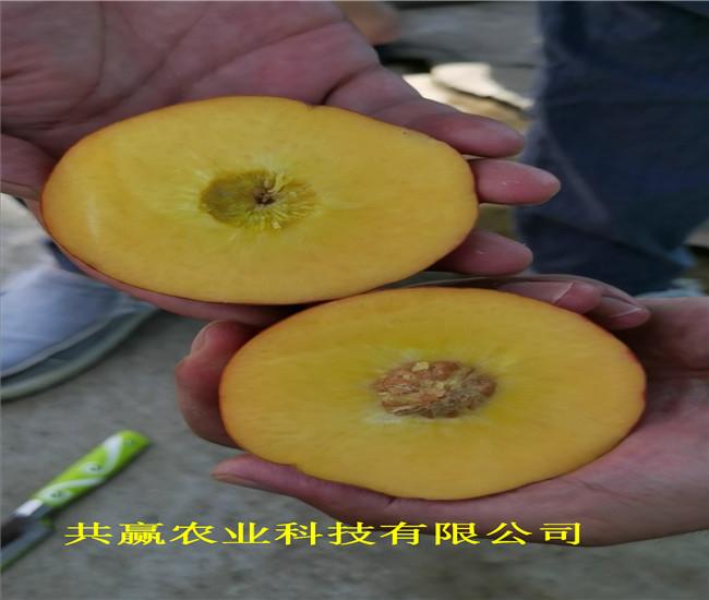 新疆克孜勒蘇柯爾克孜新品種桃樹苗基地批發報價