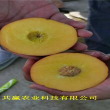 新疆庫爾勒血桃樹苗近期價格圖片