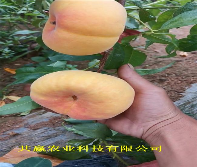 山東墾利9月成熟桃苗栽種技術
