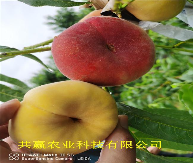 廣西河池6月成熟桃苗育苗基地報價