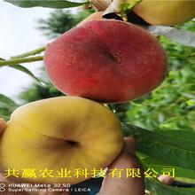 重慶北碚早熟油桃苗這里賣的好圖片